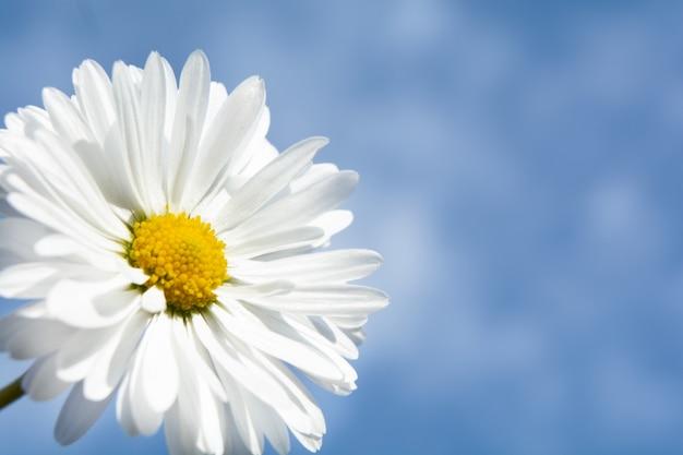 Fleur de camomille avec ciel bleu