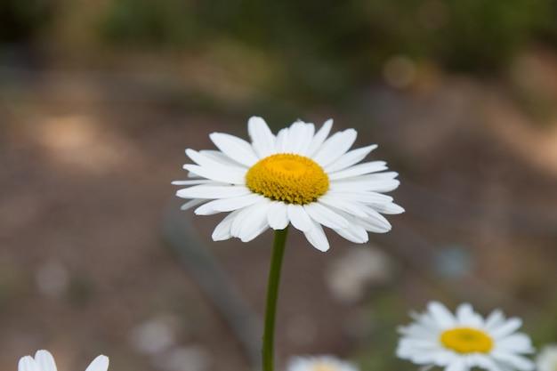 Fleur de camomille officinalis. camomille blanche sur fond vert par une journée d'été ensoleillée