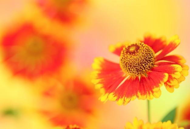 Fleur de camomille orange