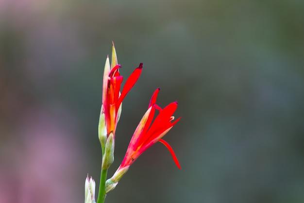 Fleur de canna indica ou pousse indienne dans le jardin avec un beau fond doux et agréable