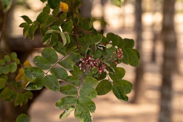 Fleur de carambole de l'espèce averrhoa carambola avec mise au point sélective