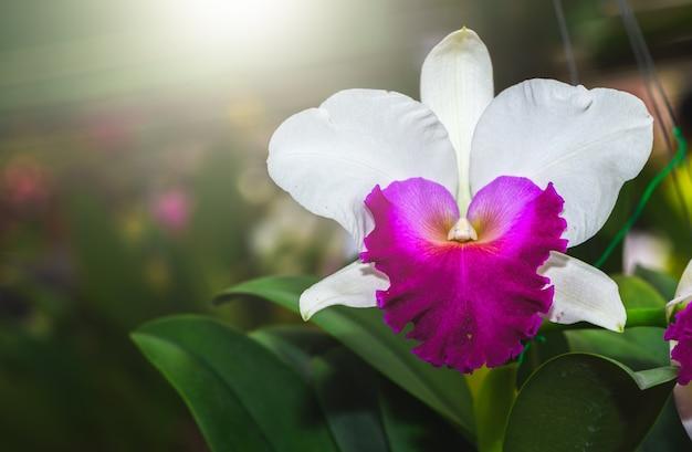 Fleur de cattleya blanche et rose vif