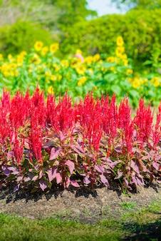 Fleur de célosia colorée