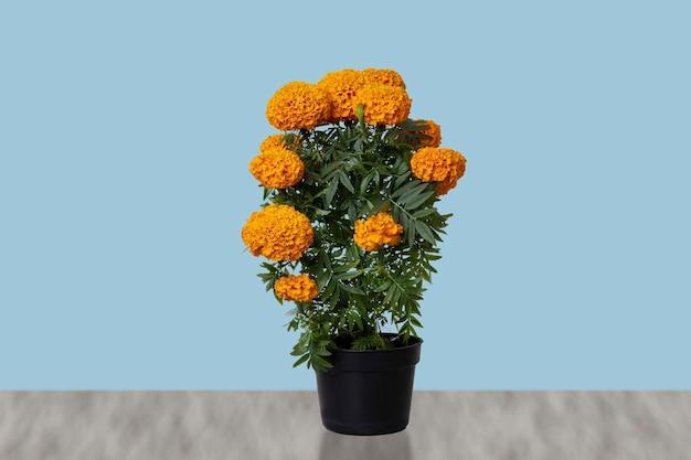 Fleur de cempasuchil en pot avec fond bleu