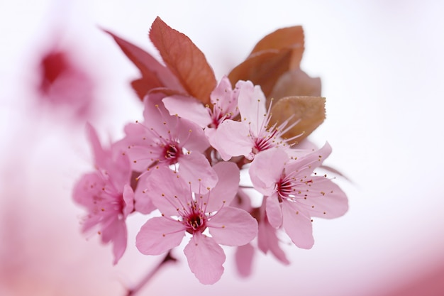 Fleur de cerisier avec un arrière-plan flou
