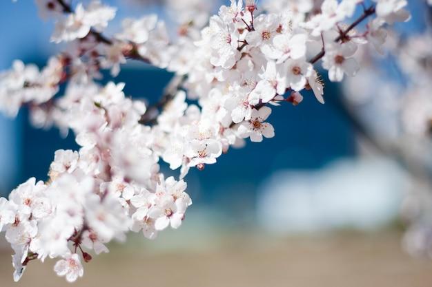 Fleur de cerisier au début du printemps