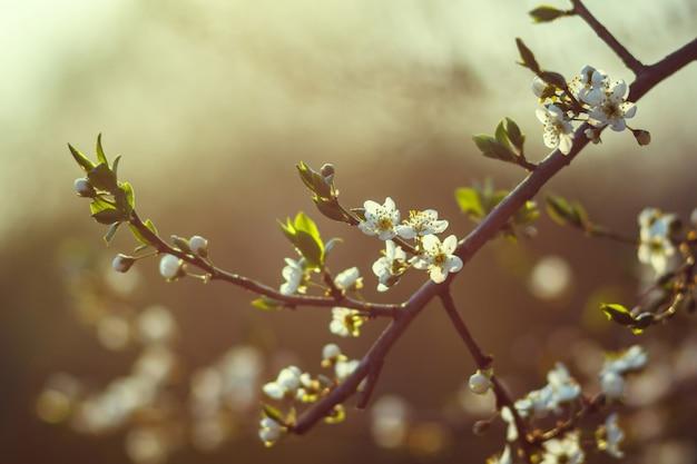 Fleur de cerisier au printemps. branche de fleurs blanches sur fond jaune, gros plan
