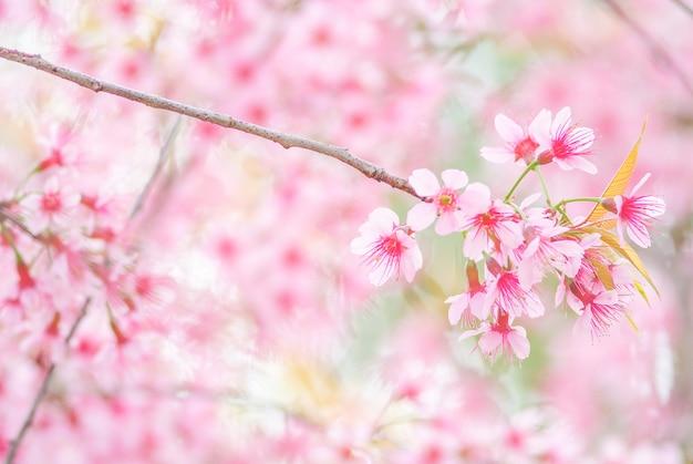 Fleur de cerisier au printemps avec flou artistique