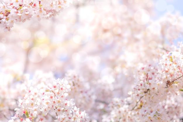 Fleur de cerisier au printemps pour le fond ou l'espace de copie pour le texte