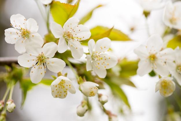 Fleur de cerisier au printemps pour.