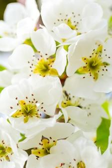 Fleur de cerisier au printemps