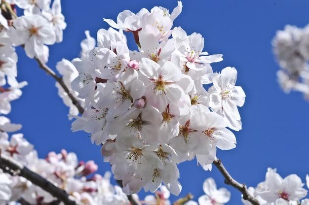 Fleur de cerisier blanc en fleurs