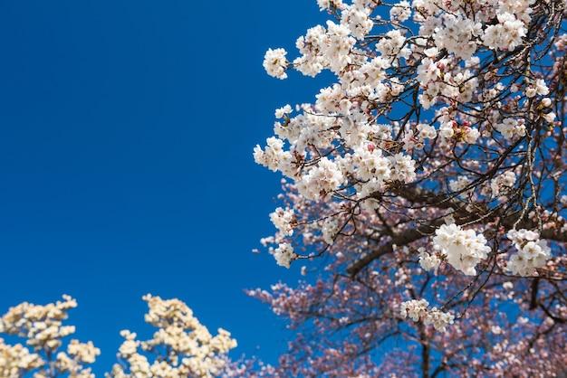 Fleur de cerisier blanc ou sakura contre le ciel bleu au printemps