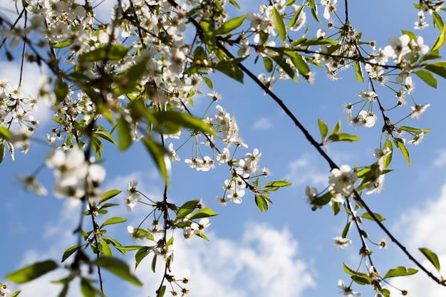 Fleur de cerisier dans le jardin