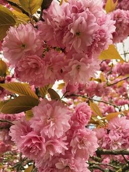 Fleur de cerisier ou fleur de sakura flou sur fond de nature