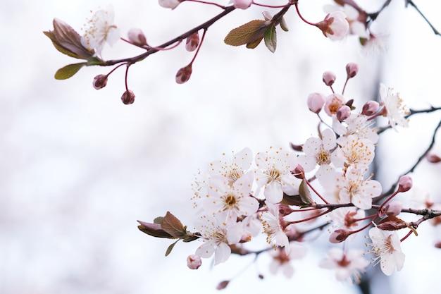 Fleur de cerisier ou fleur de sakura sur fond de nature.
