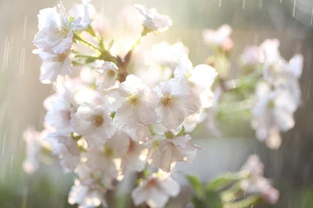 Fleur de cerisier, fleur de sakura avec goutte de pluie