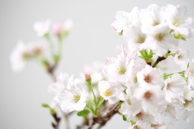 Fleur de cerisier , fleur de sakura isolée en arrière-plan whte