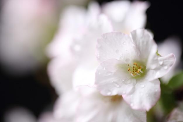 Fleur de cerisier , fleur de sakura isolée sur fond noir
