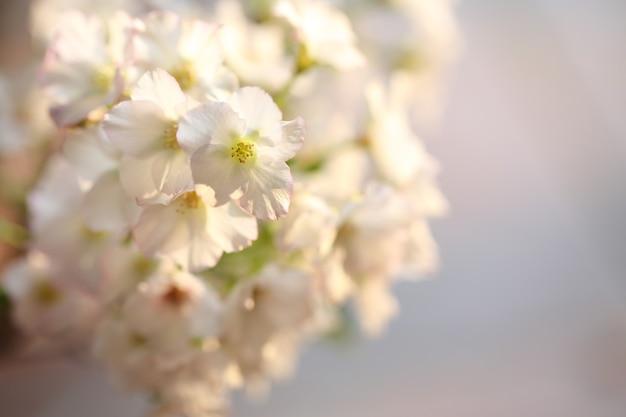 Fleur de cerisier, fleur de sakura