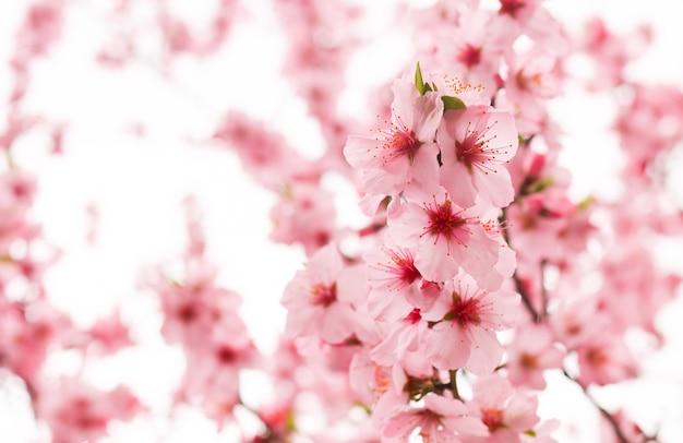 Fleur de cerisier en fleur
