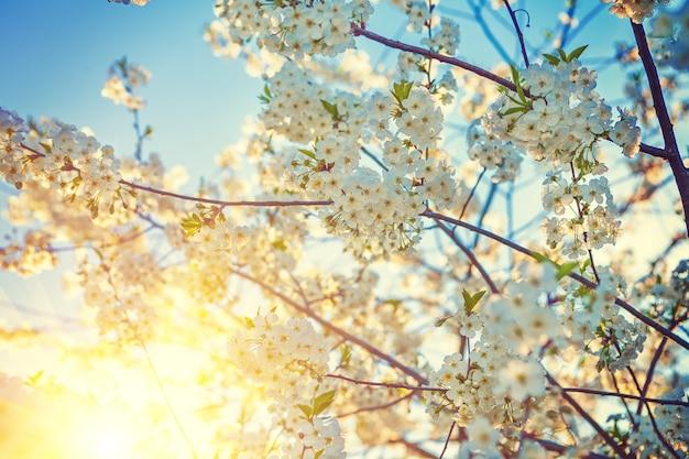 Fleur de cerisier avec fleurs blanches et soleil