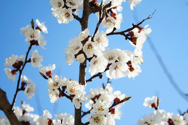 Fleur de cerisier. floraison de fleurs d'abricot. fleurs de printemps