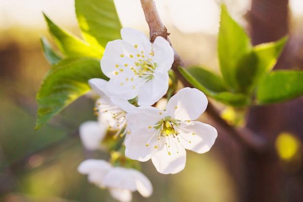 Fleur de cerisier sur fond de clôture en bois. arbres à fleurs de printemps blanc. espace pour le texte.