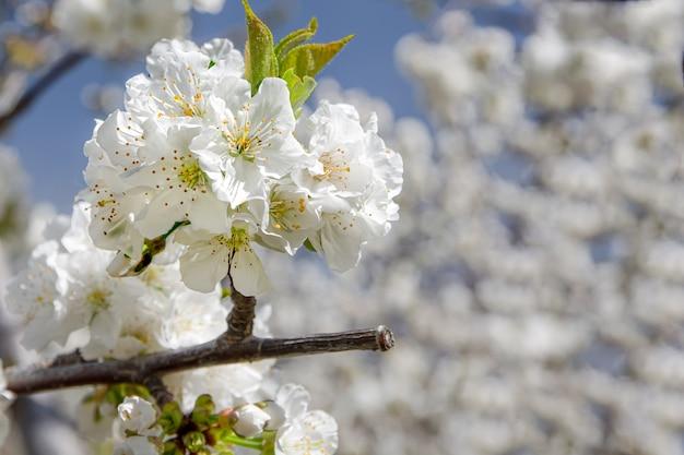 Fleur de cerisier en gros plan, fruit