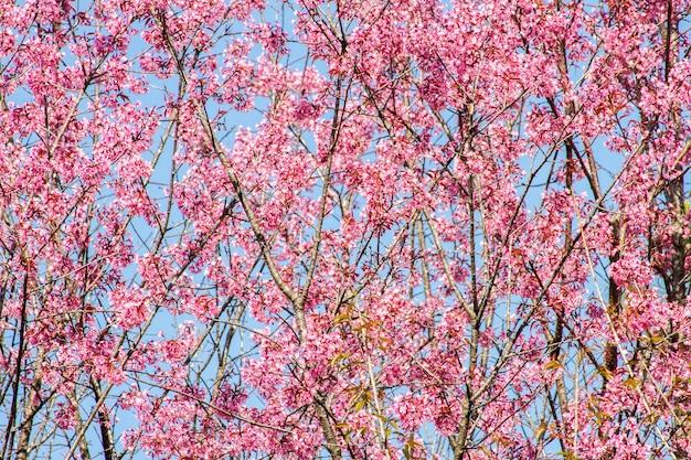 Fleur de cerisier de l'himalaya sauvage (prunus cerasoides) fleur de cerisier