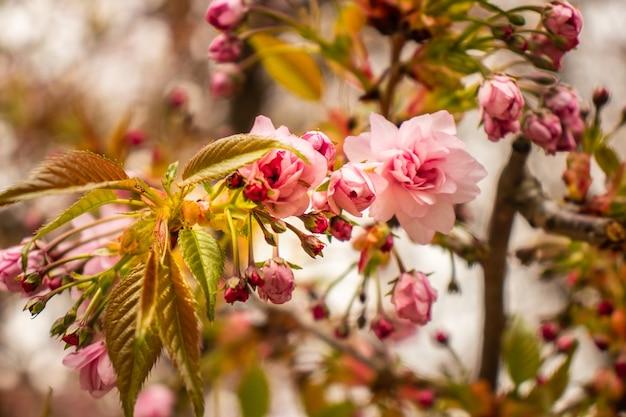 Fleur de cerisier avec mise au point douce, saison sakura en corée, arrière-plan