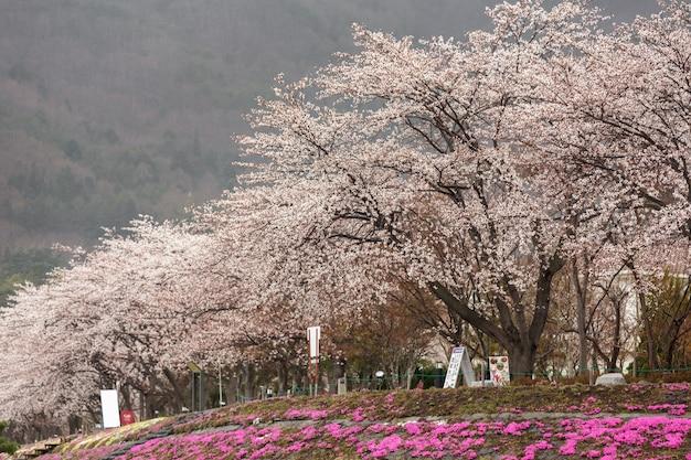 Fleur de cerisier en pleine floraison avec au premier plan en mousse rose au lac kawaguchiko au bord de la rive nord
