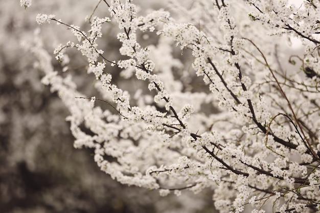 Fleur de cerisier en pleine floraison. fleurs de cerisier en petites grappes sur une branche de cerisier, devenant blanches.