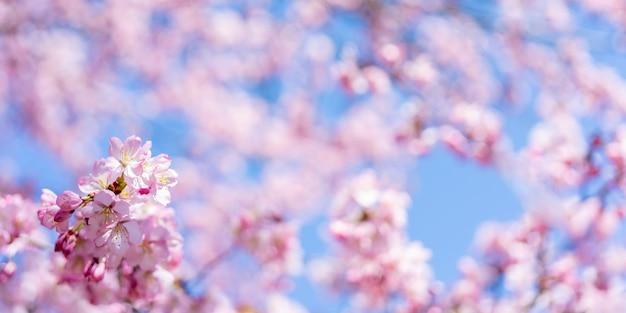 Fleur de cerisier de printemps. beau fond floral rose.