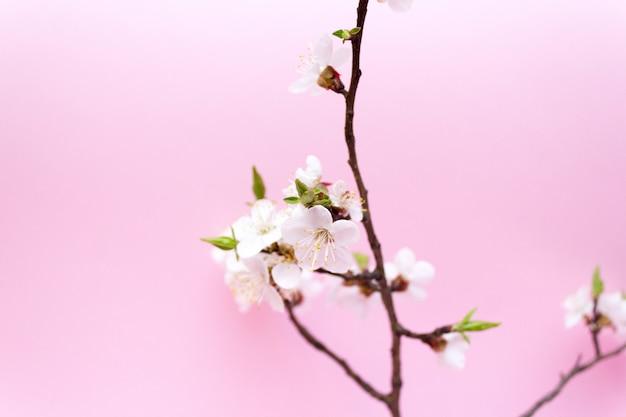 Fleur de cerisier, printemps, cerisier