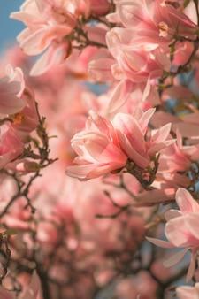 Fleur de cerisier rose. effet de lentille défocalisé et flou.
