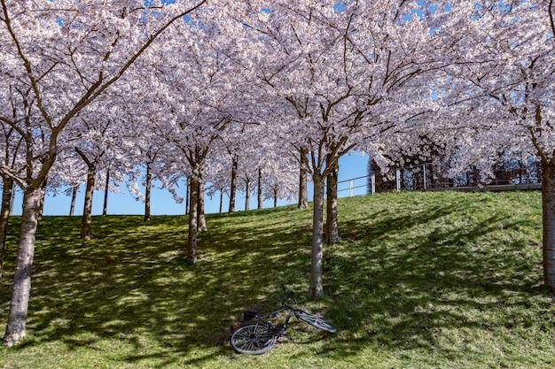 Fleur de cerisier rose (sakura) dans le parc