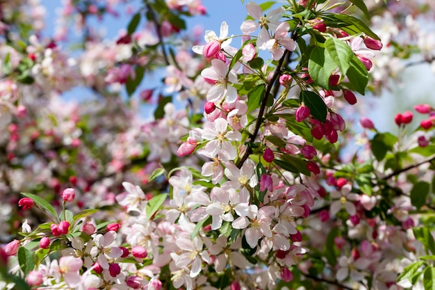 Fleur de cerisier rouge au printemps