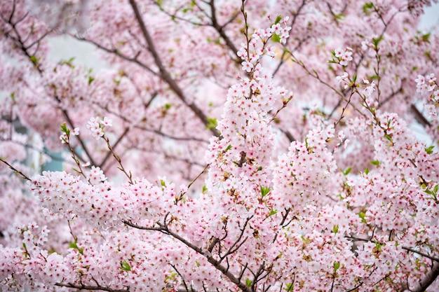 Fleur de cerisier sakura en fleurs
