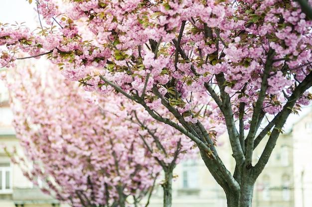Fleur de cerisier. sakura.