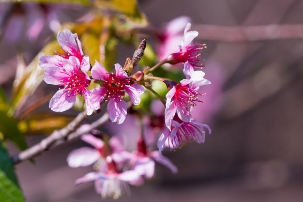 Fleur de cerisier sauvage de l'himalaya au printemps