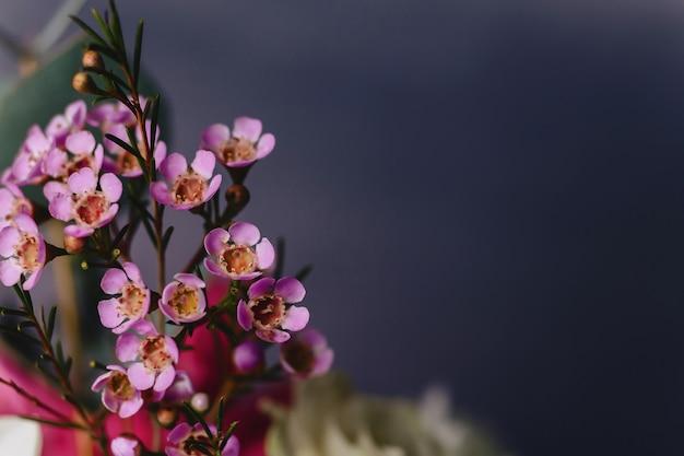 Fleur de chamelaucium sur fond simple