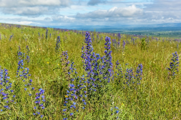 Fleur de champ bleu contre le gros plan du ciel. fleur de champ bleu.