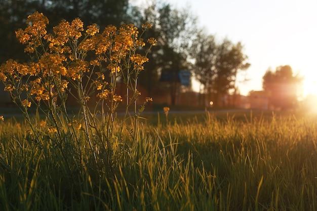 Fleur de champ sur un pré vert au printemps soir heure du coucher du soleil