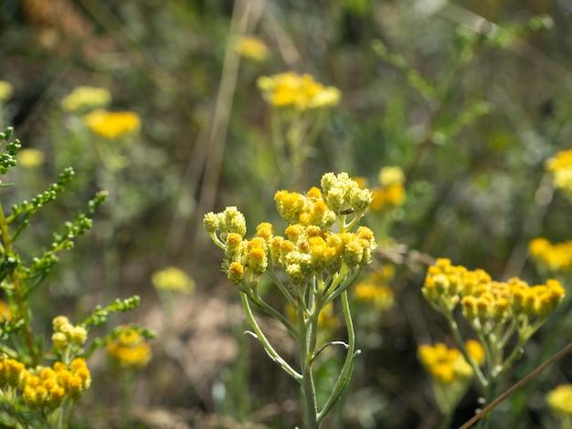 Fleur des champs jaune tanaisie commune. mise au point sélective, arrière-plan flou