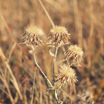 Fleur de chardon fanée