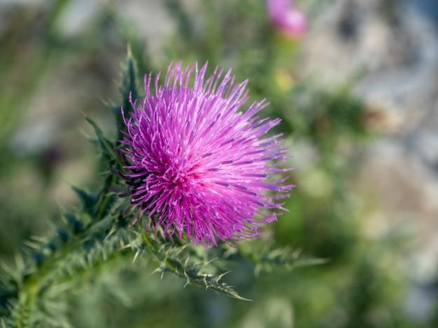 Fleur de chardon se bouchent avec un arrière-plan vert flou