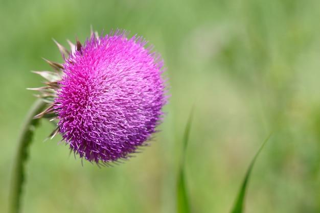 Fleur de chardon sur vert