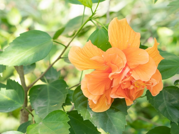 Fleur de chaussure orange ou rose chinoise et feuilles vertes