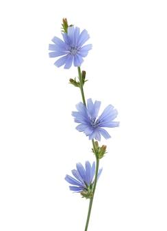 Fleur de chicorée sur le blanc